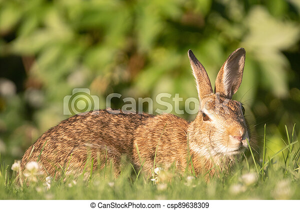 Wild Rabbit in the Grass - csp89638309