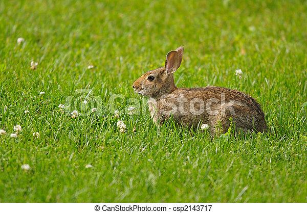 Wild rabbit - csp2143717