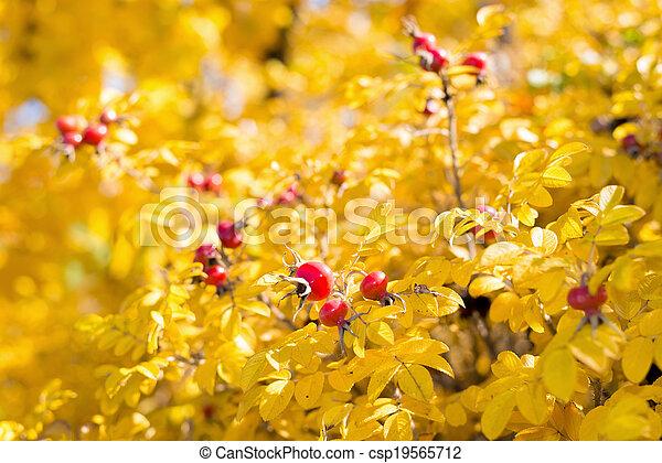 Wild rose hips on the bush in autumn - csp19565712