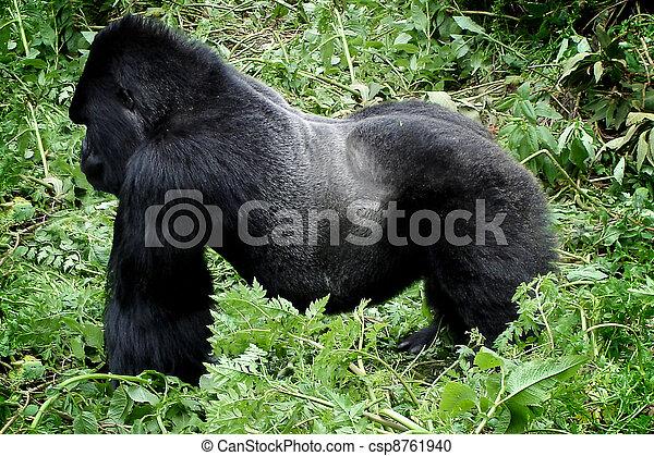 Wild silverback mountain gorilla - csp8761940