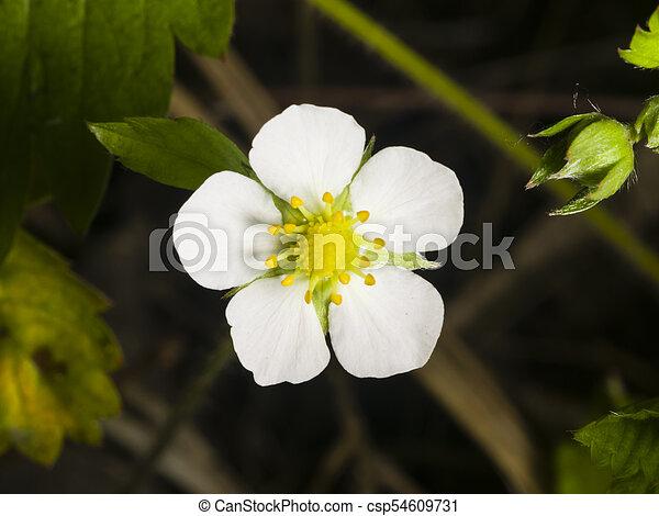 Wild strawberry flower with white petals close up selective focus wild strawberry flower with white petals close up selective focus shallow dof mightylinksfo