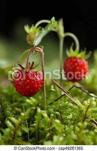 Wild strawberry on a background of moss. - csp49281365