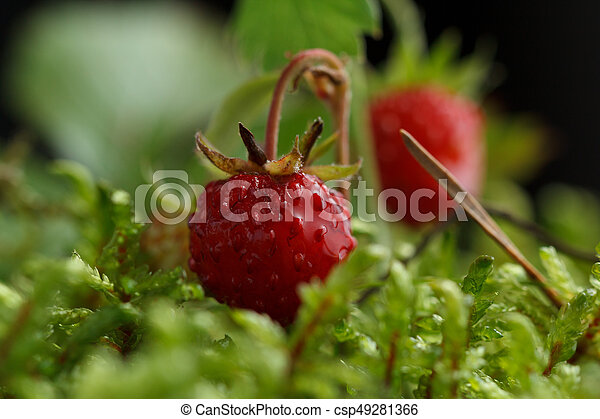 Wild strawberry on a background of moss. - csp49281366