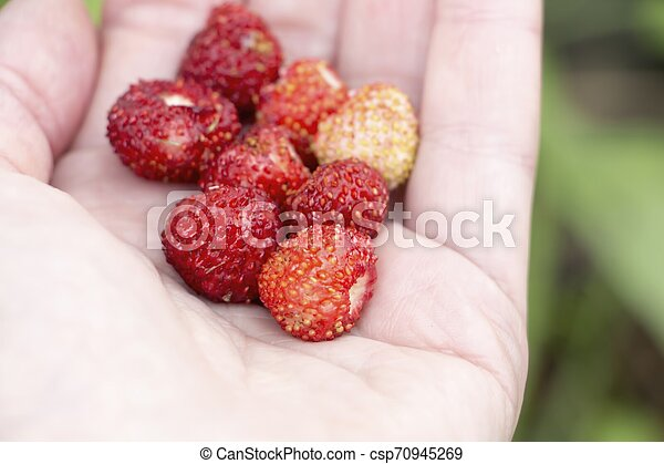 Wild strawberrys - csp70945269