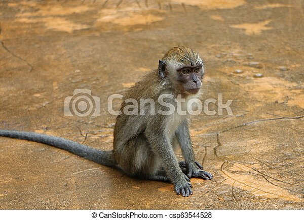 Wild toque macaque (Macaca sinica) monkey sitting waiting for food - csp63544528