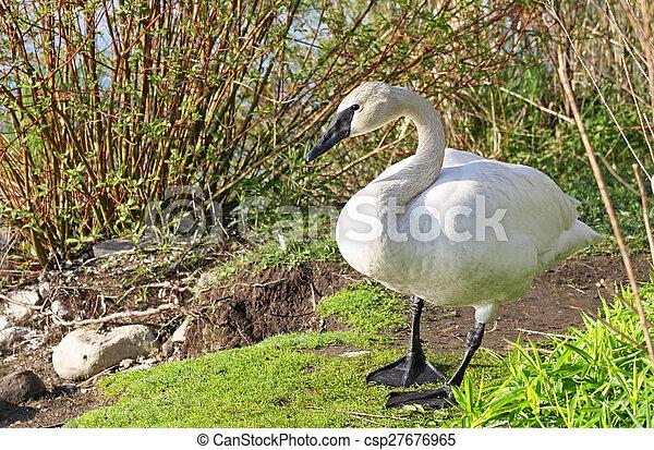 Wild Trumpeter Swan - csp27676965