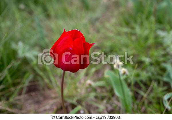 Wild tulip - csp19833903