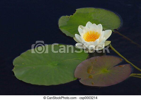 Wild Waterlily - csp0003214