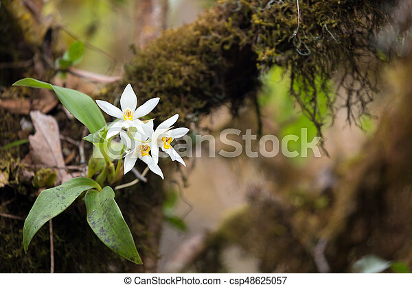 Wild white orchid flower on tree branch - csp48625057