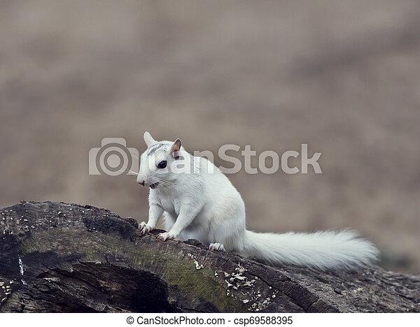 wild white squirrel sitting on a tree - csp69588395