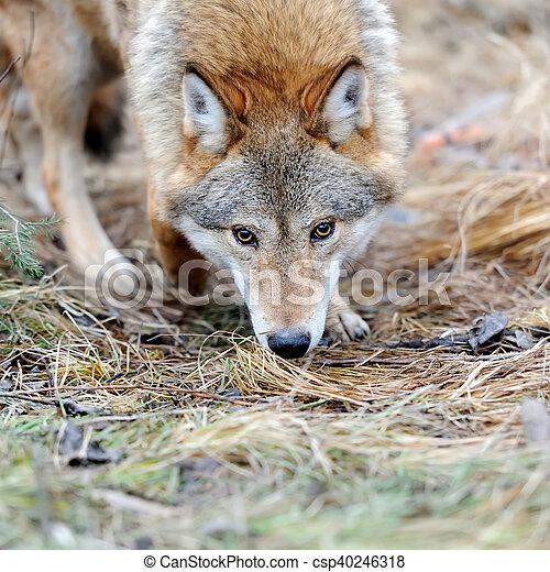 Wild wolf in forest - csp40246318