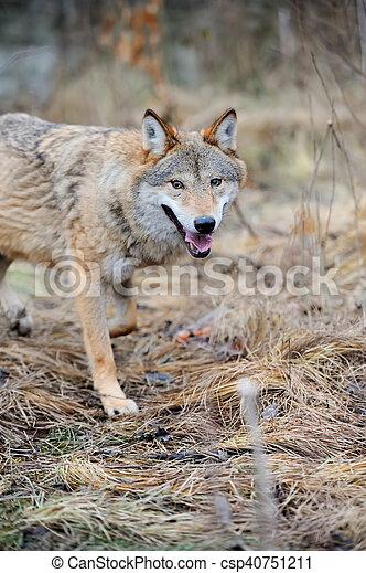 Wild wolf in forest - csp40751211