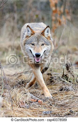 Wild wolf in forest - csp40378589