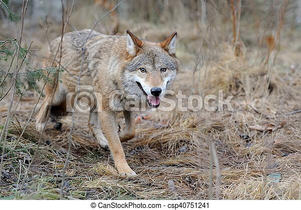 Wild wolf in forest - csp40751241