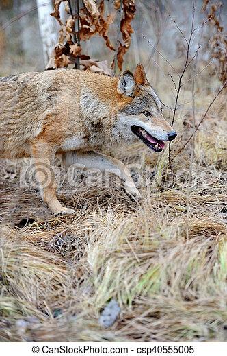 Wild wolf in forest - csp40555005