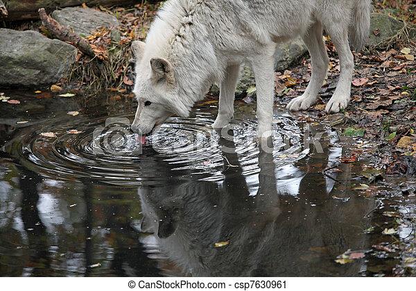 Wild wolf - csp7630961