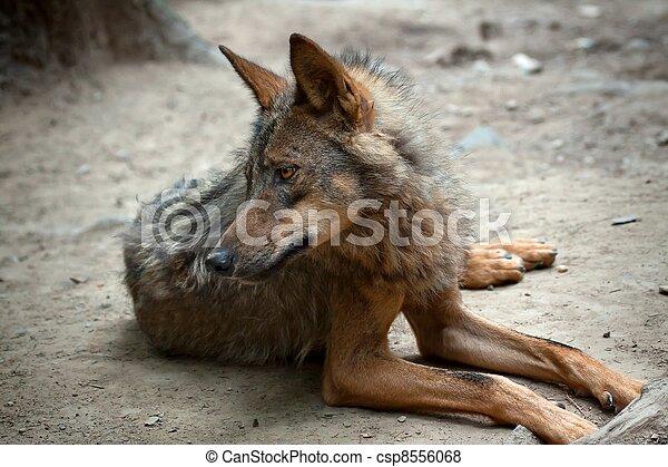 Wild Wolf - csp8556068