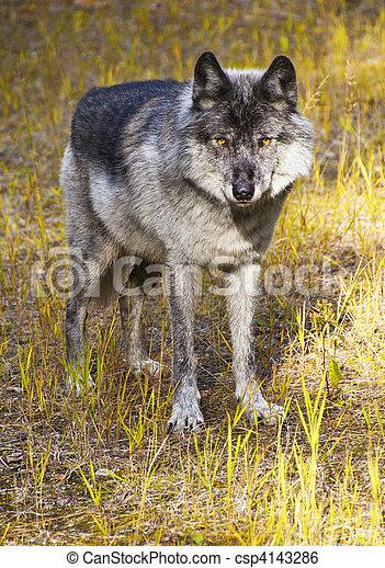 Wild Wolf - csp4143286