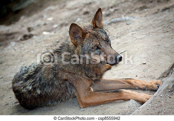 Wild Wolf - csp8555942