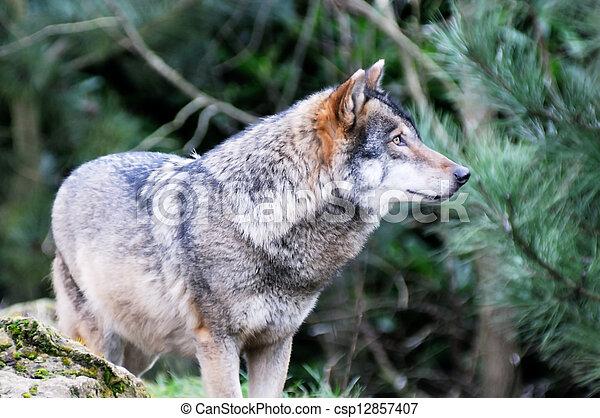 Wild wolf - csp12857407