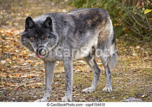 Wild Wolf - csp4154410
