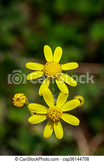 Wild yellow flowers on field closeup wild yellow flowers on field closeup csp36144708 mightylinksfo