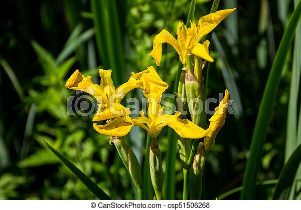 Wild yellow iris flowers wild yellow iris flowers csp51506268 mightylinksfo