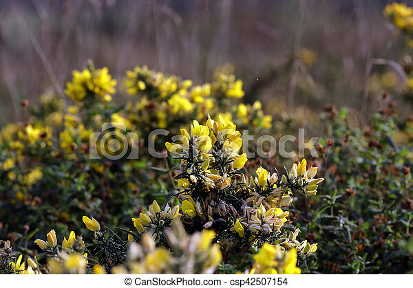 Wild Yellow Thorny Flowers With Beautiful Light Northern Portuguese