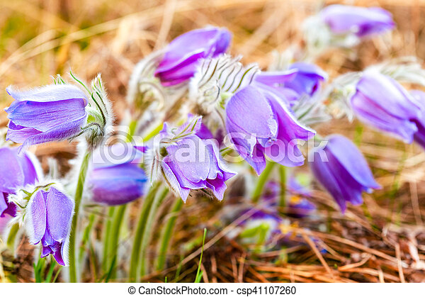 Wild young pasqueflower in early spring flowers pulsatilla patens wild young pasqueflower in early spring flowers pulsatilla patens csp41107260 mightylinksfo