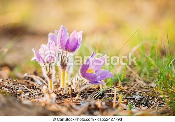Wild young pasqueflower in early spring flowers pulsatilla patens wild young pasqueflower in early spring flowers pulsatilla patens csp52427798 mightylinksfo