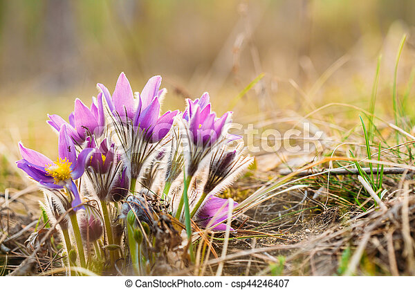 Wild young pasqueflower in early spring flowers pulsatilla patens wild young pasqueflower in early spring flowers pulsatilla patens csp44246407 mightylinksfo
