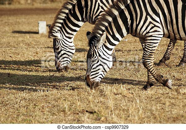 Wild zebra couple grazing - csp9907329