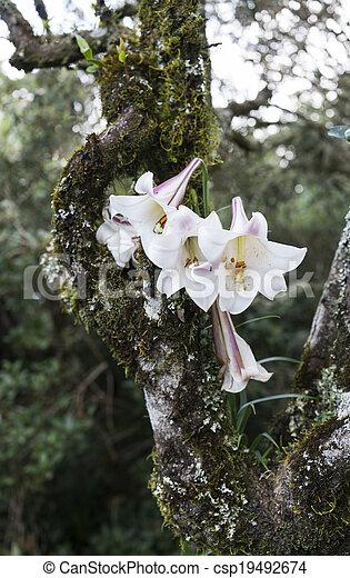 Wilde lilie, blume, baum, wachsen. Blume, natur, afrikas,... Bild ...