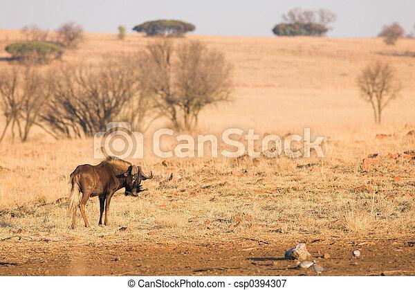 Wildebeest #1 - csp0394307