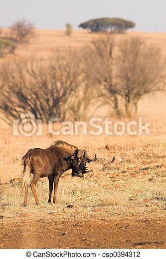 Wildebeest #2 - csp0394312