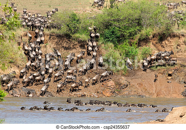 Wildebeest migration - csp24355637