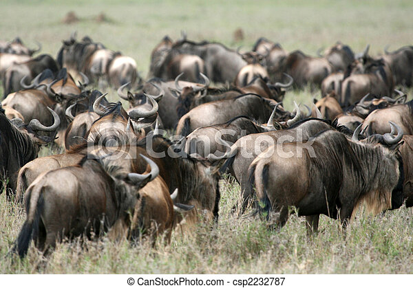 Wilderbeast - Serengeti Safari, Tanzania, Africa - csp2232787
