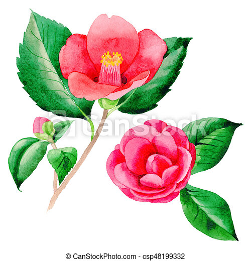 Wildflower Camellia Japanese Flower In A Watercolor Style Isolated Stock Illustration