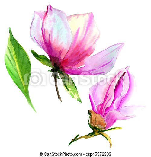 Wildflower magnolia flower in a watercolor style isolated. - csp45572303