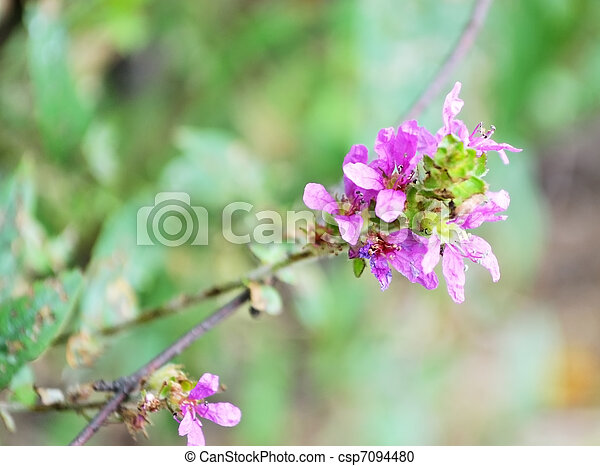 Wildflower on a blurred background - csp7094480