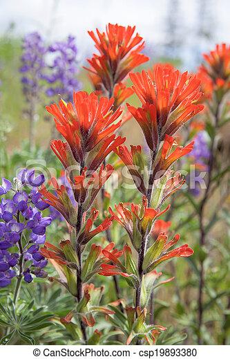 wildflowers, indio, primer plano, rojo, brocha - csp19893380