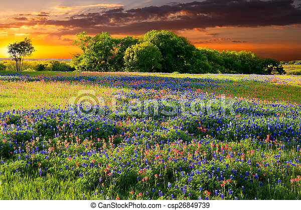 Flores silvestres de Texas - csp26849739
