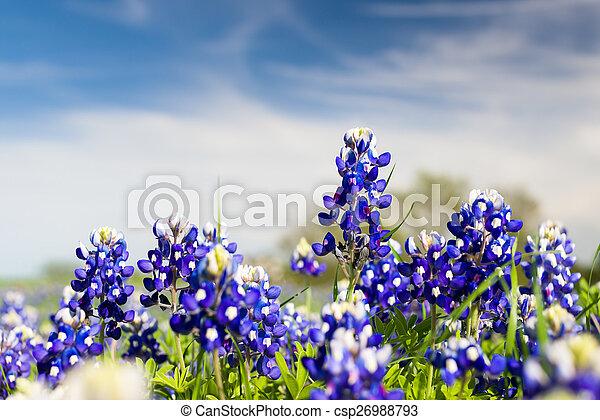 Flores silvestres de Texas - csp26988793
