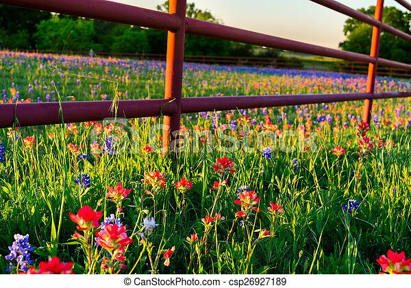Flores silvestres de Texas - csp26927189