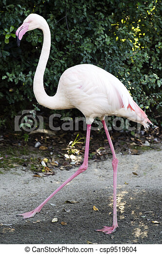 Wildlife and Animals - Flamingo - csp9519604