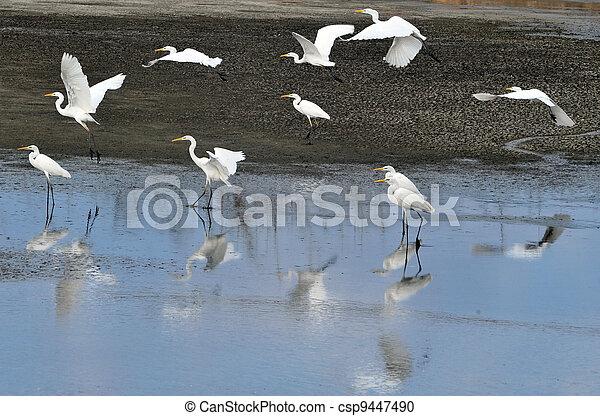 Wildlife Photos - Little Egret - csp9447490