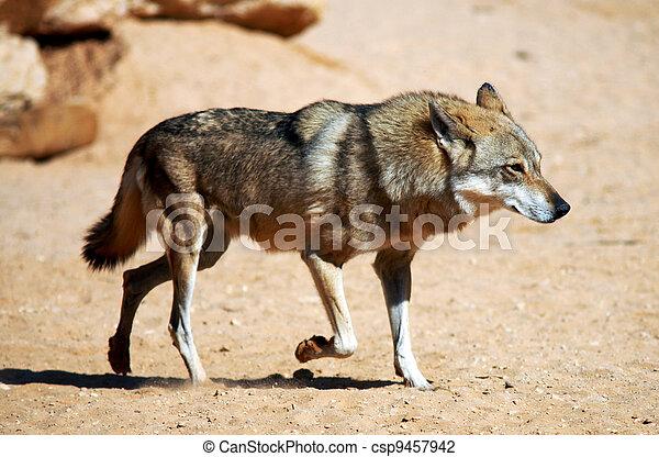 Wildlife Photos - Wolf - csp9457942