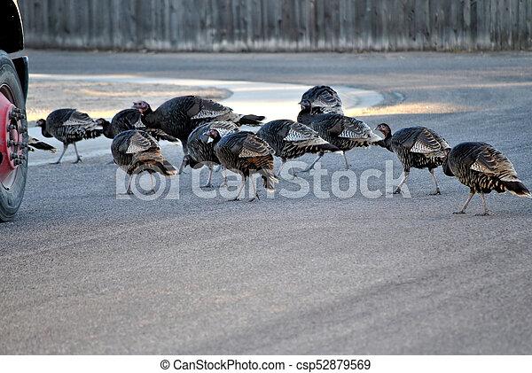 Wildlife turkeys. - csp52879569
