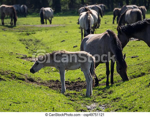 wildpferde - csp49751121