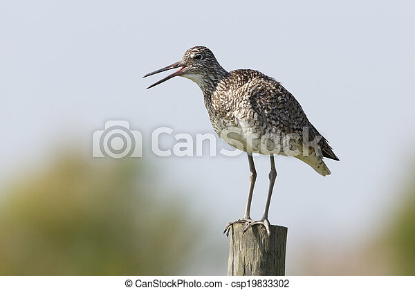 Willet Perched on a Fence Post - csp19833302